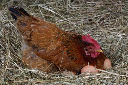 Keuken foto achterwand Kip hen eggs