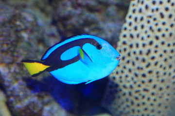 Blue tang or Regal tang or Palette surgeonfish
