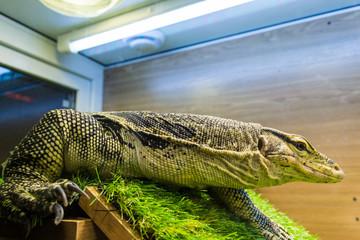 Monitor lizard (Varanus) in the terrarium