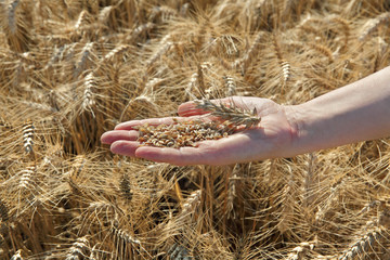 Agricultural concept, wheat crop in farmer hand