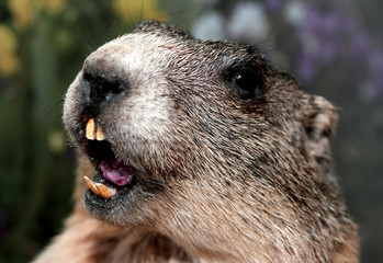 Groundhog with yellow teeth while whistling