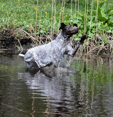 dog jumping in the river