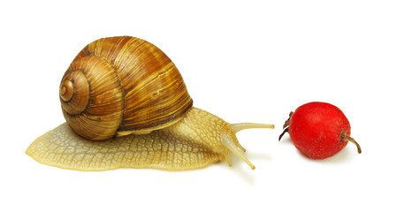 Snail and wild rose berry