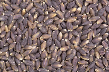 Purple Barley seeds