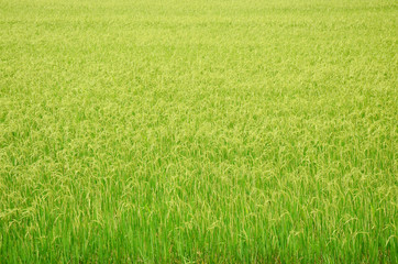 Paddy and rice field Background at Thailand