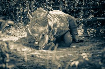 White rhinoceros in Zoo Bratislava, Slovakia