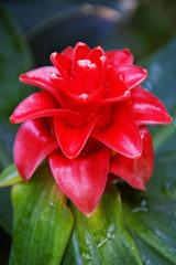 Rote Bromelien Blüte mit grünen Blättern