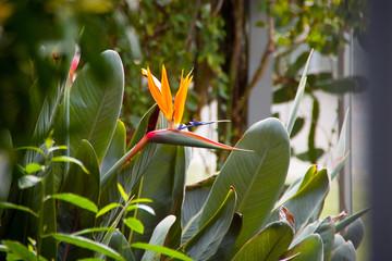 Paradiesvogelblume – Strelitzie – Totale