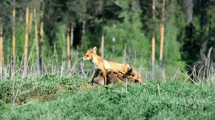 Fox pups.