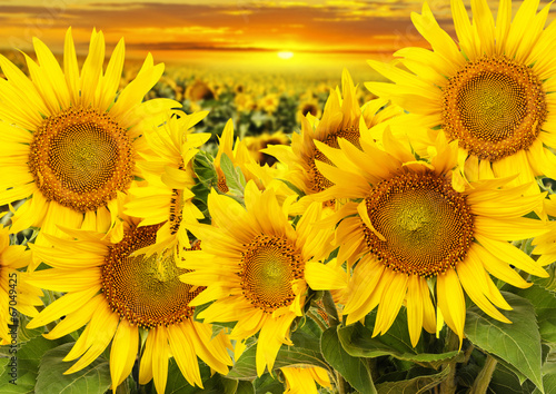 Fototapeta sunflowers on a field and sunset