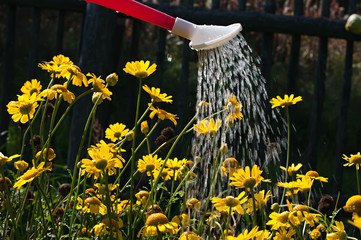 Watering the flowers in the flowerbed.