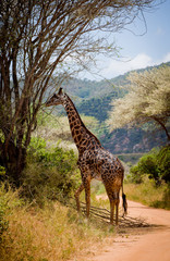 giraffe on the road