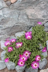 Mesembryanthemum flowers blooming in the garden