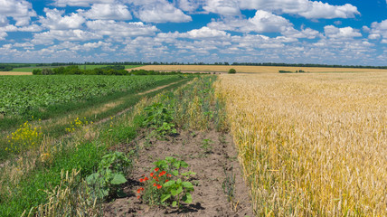 Ukrainian rural landscape with agricultural fields