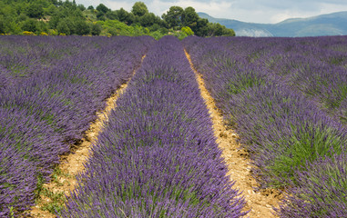 lavender field in Provence, many bees on flowers