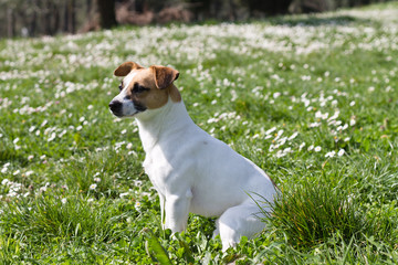 jack russell resting in the park