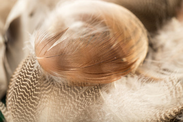 duck feathers as a background. macro