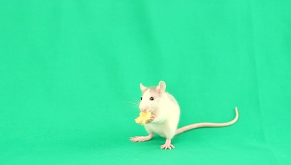 little rat eating cheese on a green screen
