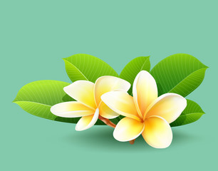 Frangipani flower of thailand with green leaf