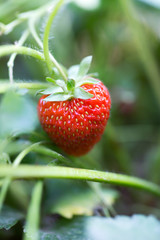strawberry in nature
