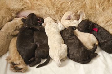Labradoodle Pups With Mom