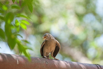 jungle babbler bird sitting on a tube