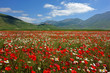 canvas print picture - flowering, castelluccio di norcia