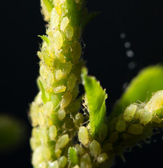 Aphid Infestation