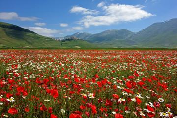 flowering, castelluccio di norcia