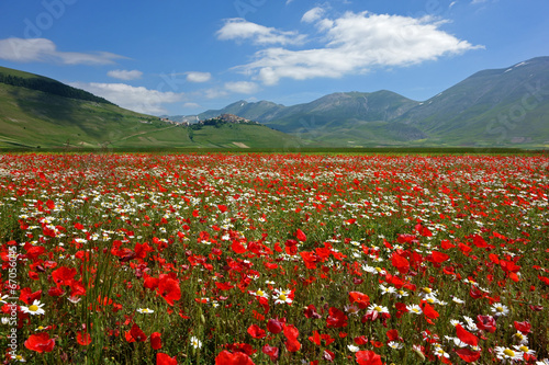 canvas print picture flowering, castelluccio di norcia