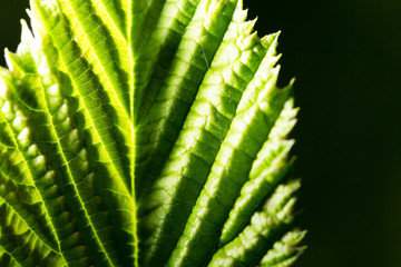 green leaf on a black background