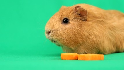 funny guinea pig and a slice of carrot on the green screen