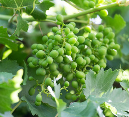 young branches of grapes on nature