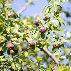 pears on the tree in nature