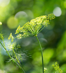 dill on nature. macro