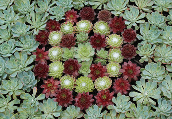 A Colourful Arrangement of Succulent Alpine Plants.