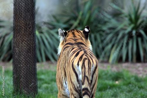 Fotobehang Luipaard Tiger