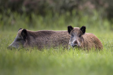 Boars in a clearing, in the wild