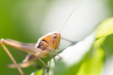 grasshopper in nature. macro