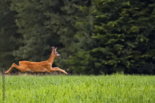 Fotobehang Ree Buck deer on the run in a clearing