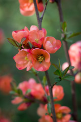 Branch of Japanese quince in blossom