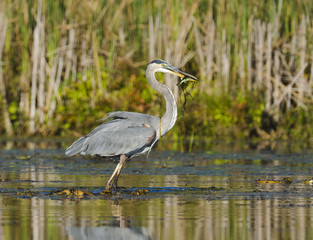Heron Catches a Fish