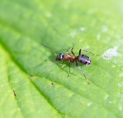 Bullet ant in the Jungle of amazonas river