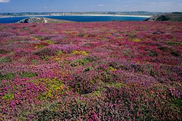 fioriture erica scogliere bretagna penisola di camaret francia