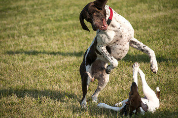 German shorthaired pointer and little Russell Terrier