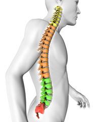 Corpo umano colonna vertebrale anatomia