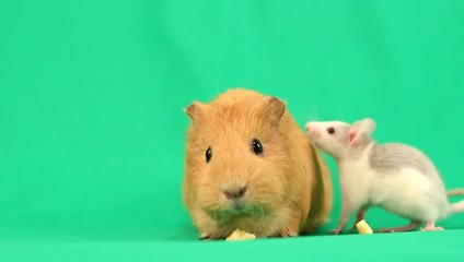 funny guinea pig and rat are eating on the green screen