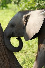 Babyelefant drückt Baum um