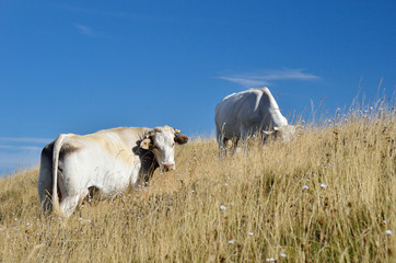 grazing cows on the hill in summer
