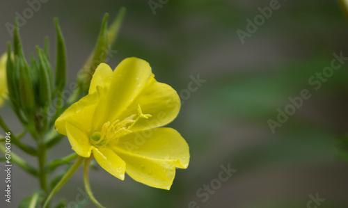 canvas print picture Onagre, fleur jaune